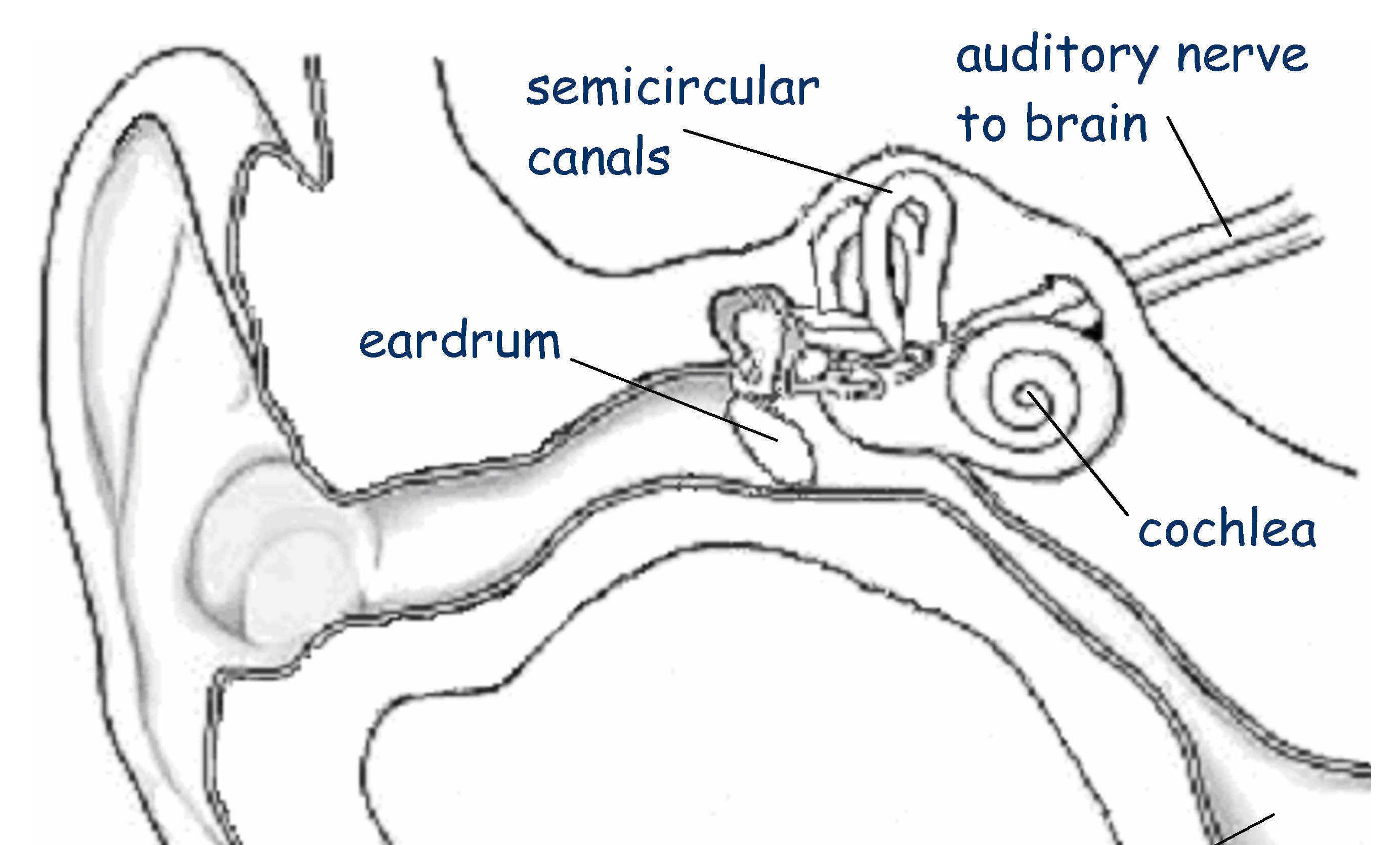 Luxury Ear Parts Motif - Anatomy Ideas - yunoki.info